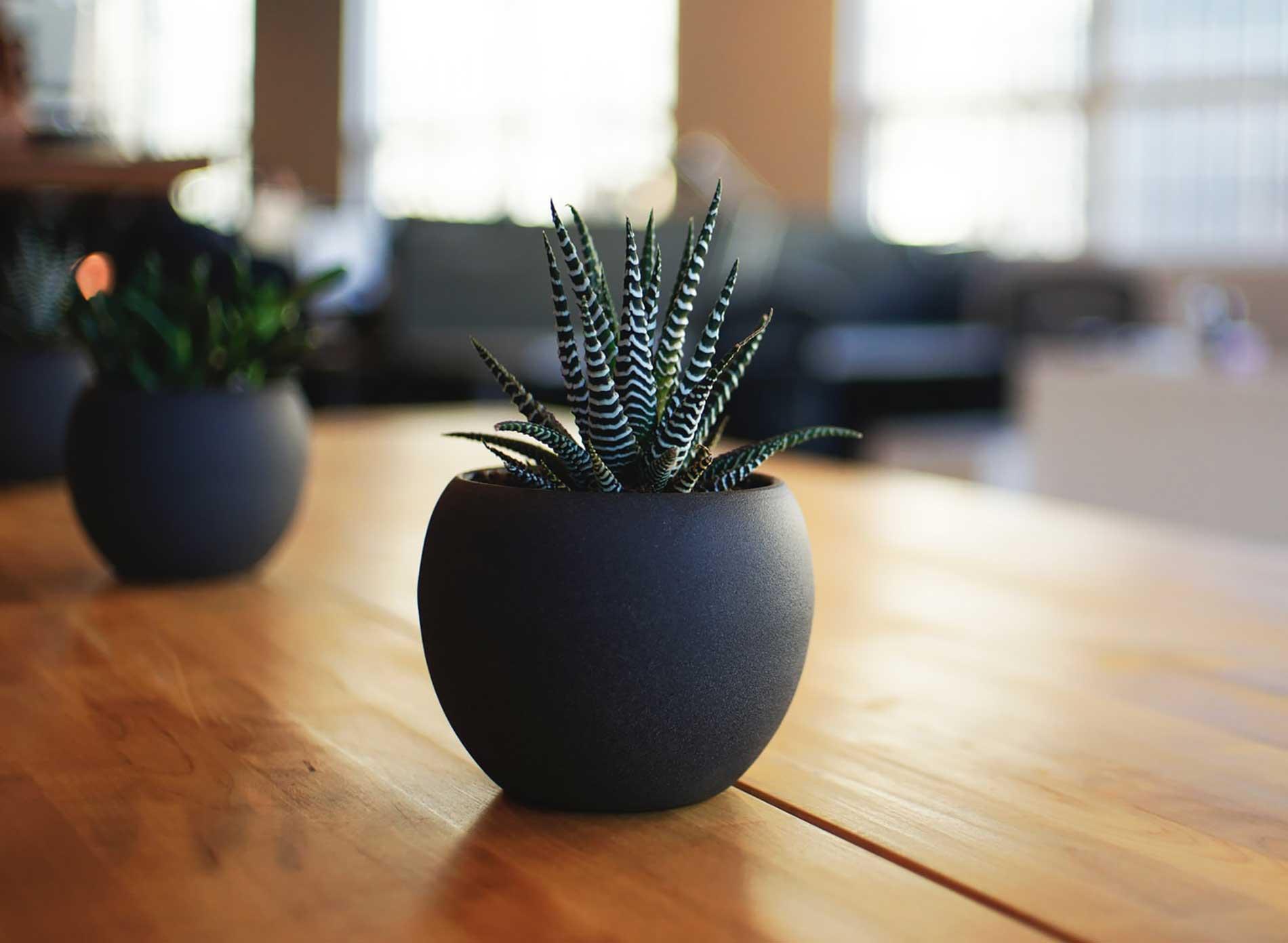 Las mejores plantas para la oficina: los cactus