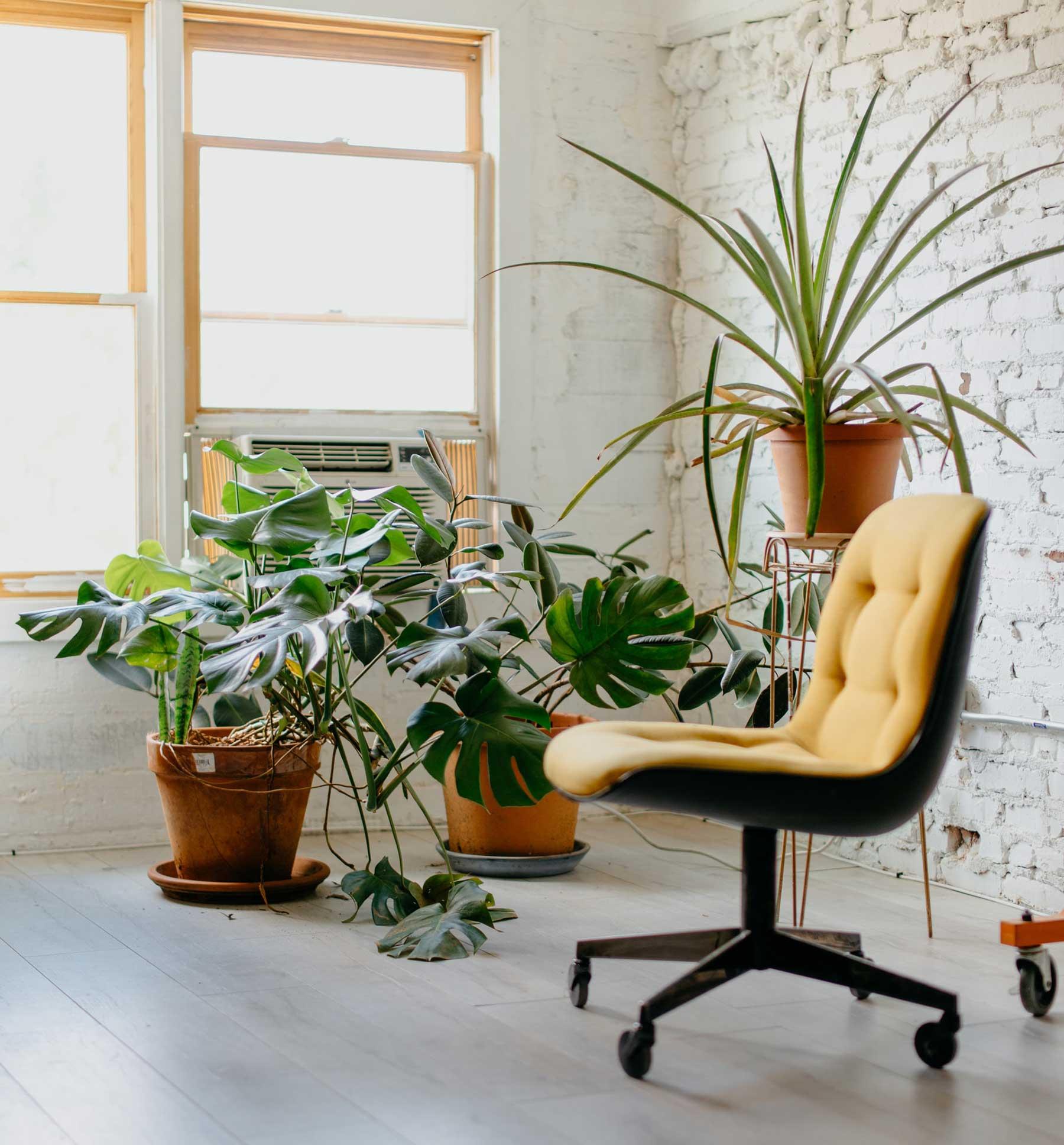 Plantas para la oficina: monstera deliciosa