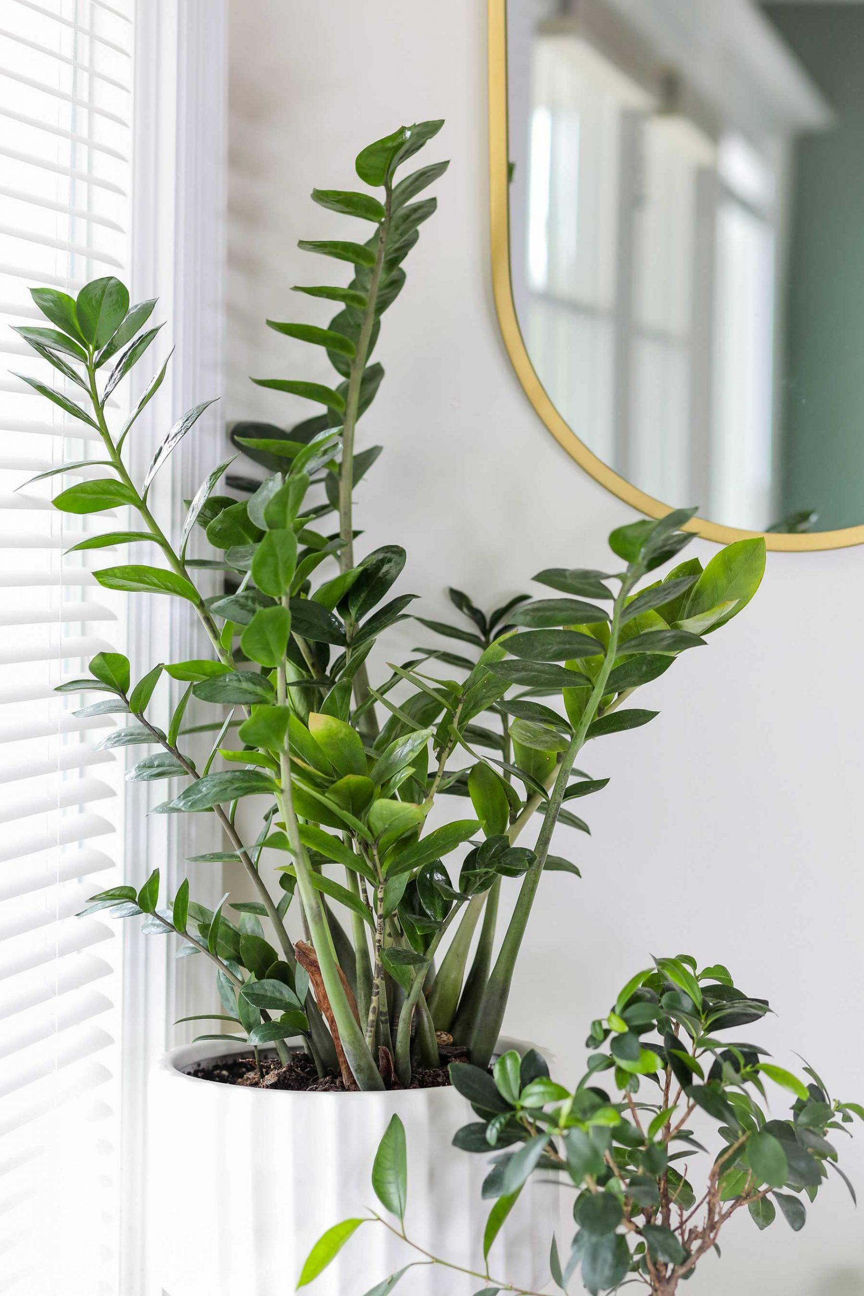 Las mejores plantas para la oficina: zamioculcas